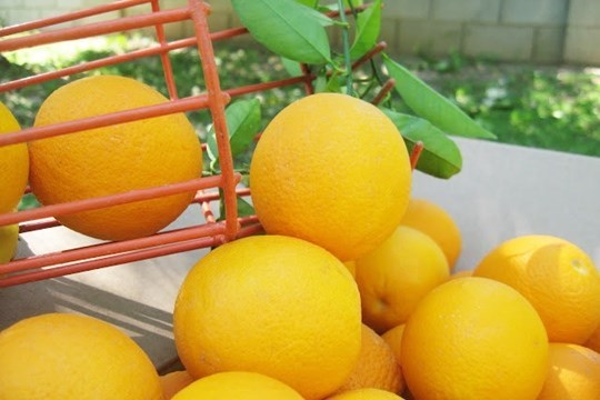 ส้มวาเลนเซีย (Valencia Oranges) ส้มในกลุ่มส้มเกลี้ยง