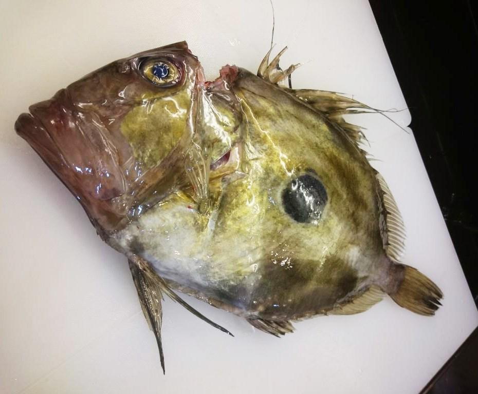 ปลาจอห์น ดอรี่ (John Dory)